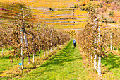A girl walk in a cultavation of apples, with view on yellow vineyards. Bianzone, Valtellina, Lombardy, Italy.