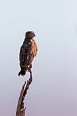 Brown Snake Eagle, Okavango Delta, Botswana, Africa