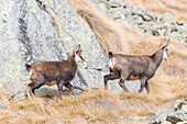 Chamois mother and son, Ciamousseretto, Orco Valley, Gran Paradiso National Park, Piedmont, Province of Turin, Italian alps, Italy