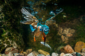 kingfisher hunting a fish underwater, Trentino Alto-Adige, Italy