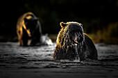 Brown bear (ursus arctos); Katmai National Park; western Alaska; United States; North America.