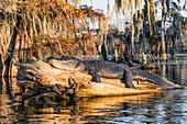 American alligator (Alligator mississippiensis); Lake Martin, Breaux Bridge, Atchafalaya Basin, Southern United States, USA; North America