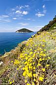 Yellow wildflowers, Gulf of Procchio, Marciana, Elba Island, Livorno Province, Tuscany, Italy
