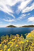 Yellow wildflowers on cliffs, Gulf of Procchio, Marciana, Elba Island, Livorno Province, Tuscany, Italy