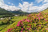 Rhododendrons in bloom, Maloja, Bregaglia Valley, Canton of Graubunden, Engadin, Switzerland