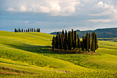 Cypresses in summer on mild hills in Orcia Valley. Siena district, Tuscany, Italy.