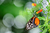 Tiger longwing, Heliconius, Botanical Garden, Munich, Upper Bavaria, Bavaria, Germany