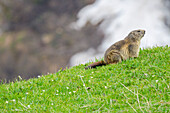 Marmot on the springtime's grass, Valle dell'Orco, Gran Paradiso National Park, Piedmont, Graian alps, Province of Turin, Italian alps, Italy