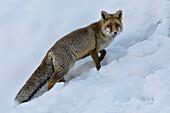 Red fox on the snow, italian alps, Piedmont, Italy, Europe