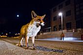 Urban Fox, italian apennine, Emilia Romagna, Italy, Europe