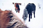 Icelandic horse, Snaefellsness peninsula, Iceland