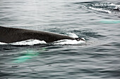 Nature photograph of humpback whale (Megaptera novaeangliae) swimming in Wilhelmena Bay, Antarctic Peninsula and surfacing wth a metre of a zodiak. The whales migrate here in the summer to feed on the Krill. Krill numbers have declined by over 50%. They f