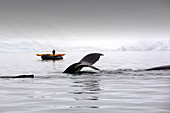 Photograph with humpback whale (Megaptera novaeangliae) tail fin above water in Wilhelmena Bay, Antarctic Peninsula. With passengers from an expedition crusie in Zodiaks. The whales migrate here in the summer to feed on the Krill. Krill numbers have decli