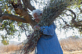 senior female member of Federated Indians of Graton Rancheria collect gray willow for basket making at Tolay Creek, California, USA