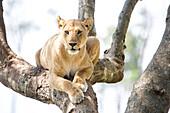 Front view of single lioness (Panthera leo) on tree, Masai Mara National Reserve, Kenya