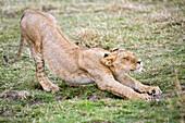 Side view of young lion (Panthera leo) stretching, Masai Mara National Reserve, Kenya