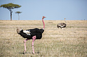 Side view of male ostrich (Struthio camelus) in savannah, Masai Mara National Reserve, Kenya
