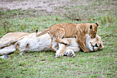 Nature photograph of lion (Panthera leo) cub playing with female adult, Masai Mara National Reserve, Kenya