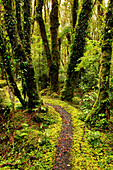 Narrow trail through vibrant lush forest, New Zealand