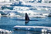Minke whale (Balaenoptera acutorostrata) head emerging among pack ice, Arctic Ocean, Spitsbergen, Svalbard and Jan Mayen, Norway