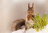 Cute photograph of a single red squirrel holding a flower in snow in winter