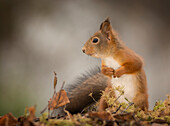 Cute photograph of a single red squirrel among autumn leaves with focus on foreground