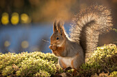 Cute beautiful nature photograph of a single red squirrel