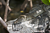 Juvenile Morelet's Crocodile, Crocodylus moreletii, Cancun, Yucatan, Mexico
