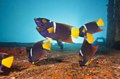 Cortez Angelfishes at C-59 Wreck, Holacanthus passer, La Paz, Baja California Sur, Mexico