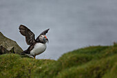 atlantic puffin flapping its wings as it comes back from fishing with its beak full of fish, mykines, faroe islands, denmark