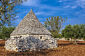 Italy, Apulia, Itria Valley, alond tree and trullo (fry-stone cabin witha conical roof) in a field