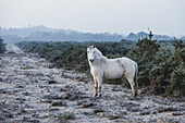 England, Hampshire, The New Forest, Pony