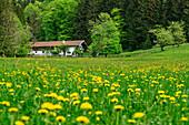Alpine meadow with flowers, alpine hut in background, Hochries, Chiemgau Alps, Chiemgau, Upper Bavaria, Bavaria, Germany