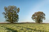 Weidenbaum, Feld, Nebel, Morgen, Etzel, Friedeburg, Landkreis Wittmund, Ostfriesland, Niedersachsen, Deutschland, Europa