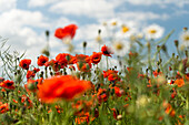 Poppy, Chamomile, Field, Sky, Wulfen, Fehmarn, Baltic Sea, East-Holstein, Schleswig-Holstein, Germany, Europe