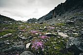 Mountain flowers in the rubble in front of two hikers, E5, Alpenüberquerung, 3rd stage, Seescharte,Inntal, Memminger Hütte to  Unterloch Alm, tyrol, austria, Alps