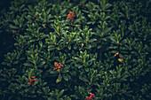 Pflanzen auf dem Fernwanderweg,E5, Alpenüberquerung, 4. Etappe, Skihütte Zams, Pitztal, Lacheralm, Wenns, Gletscherstube,  Österreich, Zams zur Braunschweiger Hütte
