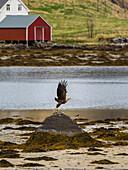 sea eagle taking off from a rock, Flakstadoya, Lofoten Islands, Norway