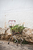 shopping cart with Aloe Vera for sale in alleys of Villa de Leyva, Departamento Boyacá, Colombia, South America