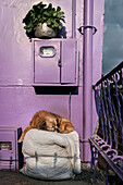 sleeping dog in front of purple house, Salento, UNESCO World Heritage Coffee Triangle, Departmento Quindio, Colombia, Southamerica