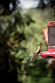 hummingbird at Cocora Valley, Salento, UNESCO World Heritage Coffee Triangle, Departmento Quindio, Colombia, Southamerica