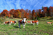 Calves on a almweide before autumn-colored mixed forest