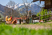 Spring scene with chickens and cats and blooming fruit tree when Wieser property in unterwössen, in the background the snow-capped geigelstein