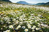 Im Frühsommer blühen die Bergblumen auf den Matten der Campo Imperatore, Gran Sasso Nationalpark, Abruzzen, Italien
