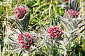 Im Frühsommer blühen die Bergblumen an den Hängen des Corno Grande, Gran Sasso Nationalpark, Abruzzen, Italien