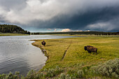buffalos in stormy atmosphere in the Yellowstone National Park, Wyoming, USA