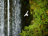 seagull in front of a small waterfall in the highlands of Iceland