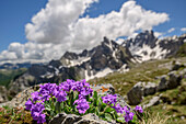 Pink primrose with mountains in background, Val Maira, Cottian Alps, Piedmont, Italy