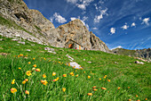 Alpine meadow with wild tulips with hut rifugio Stroppia in background, hut rifugio Stroppia, Val Maira, Cottian Alps, Piedmont, Italy