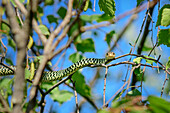 Green whip snake laying in tree, Hierophis viridiflavus, Val Maira, Cottian Alps, Piedmont, Italy